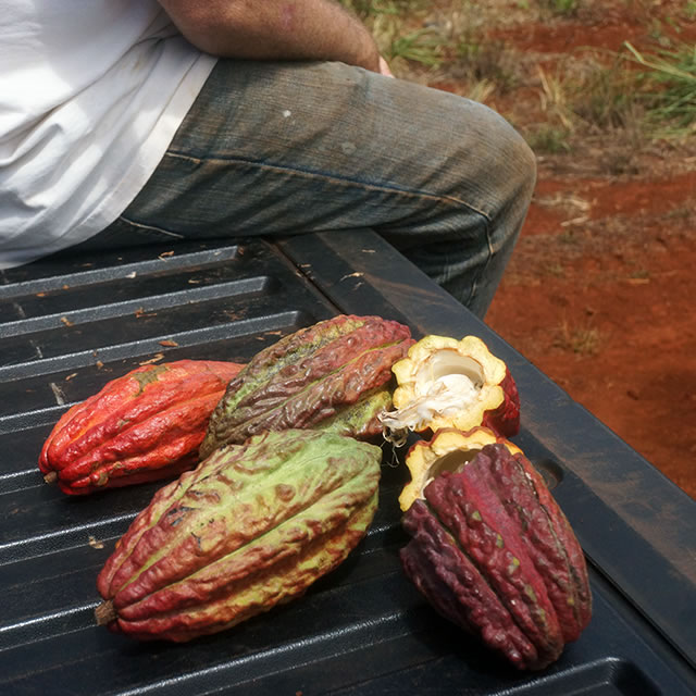 The Chocolate Garage cocoa pods